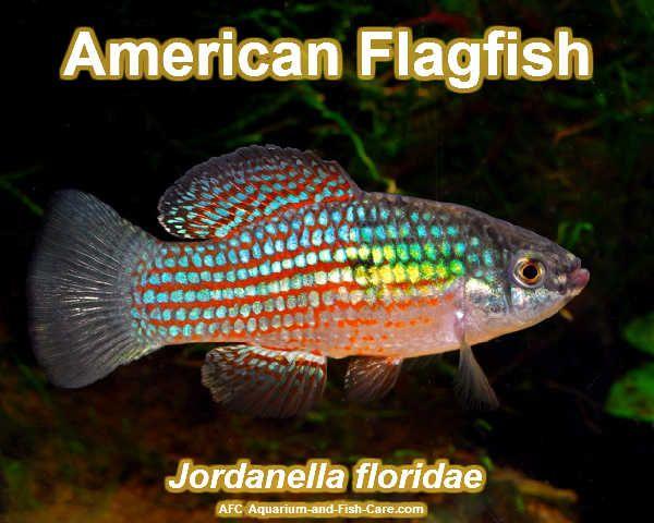 American Flagfish Freshwater Aquarium Pinterest