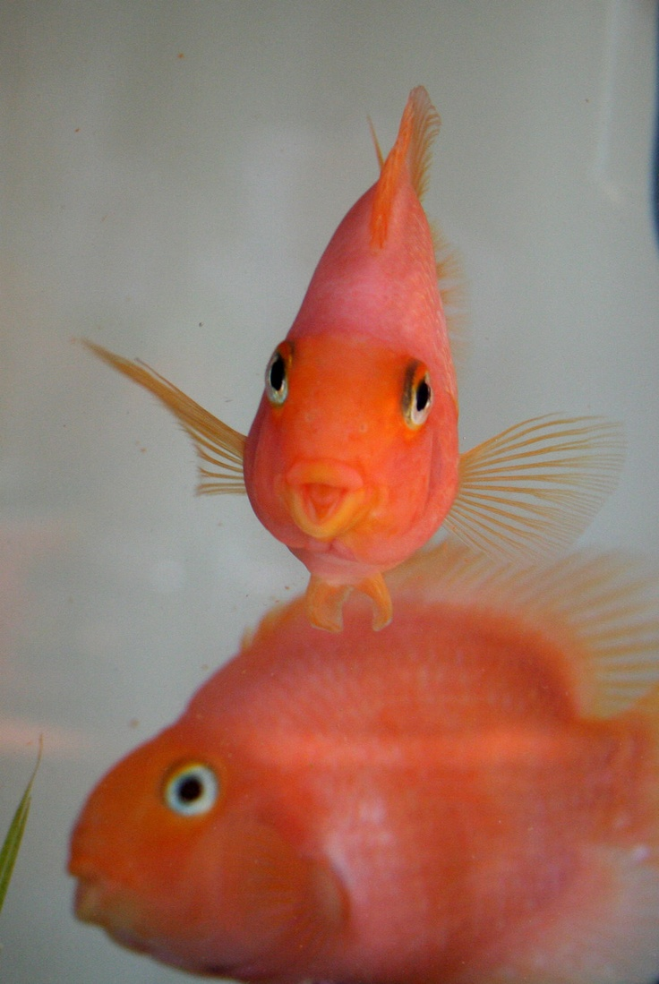 Parrot fish pets pinterest for Pictures of parrot fish