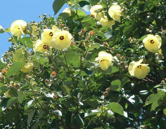 Hibiscus tiliaceus seed tropical seeds for Hibiscus arbol