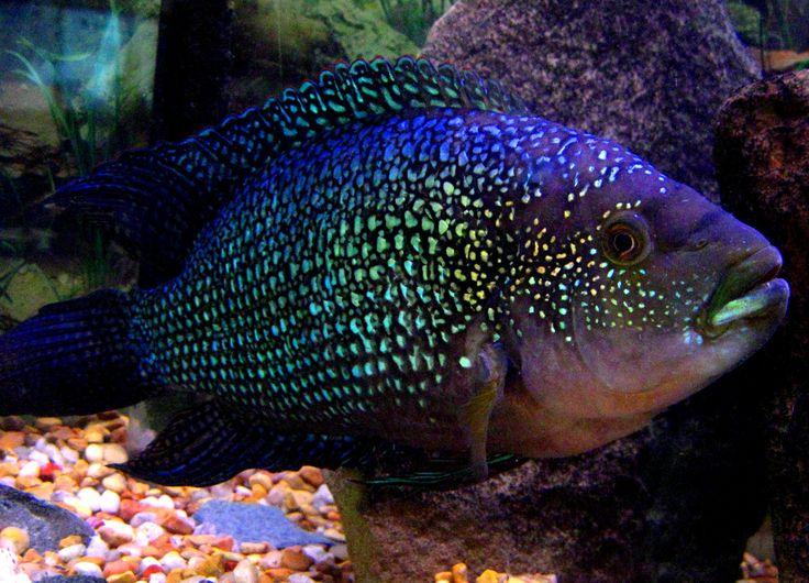 Jack dempsey cichlid fish pinterest for Jack dempsy fish