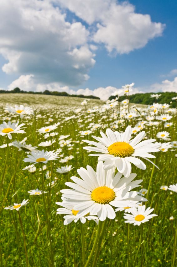 field of daisies | {Flower Fields & Farms} | Pinterest Field Of Daisies