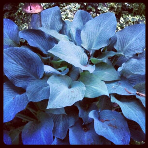 blue giant hosta -#main
