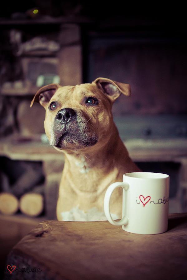 Le Staffordshire Bull Terrier : le staffie A52e9117a56fa6f6d16b114b26dfbded