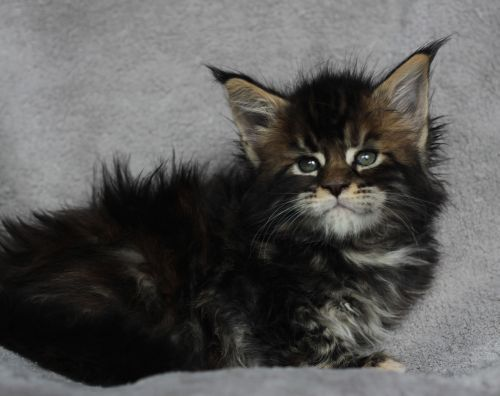 kittens | Black tabby Maine Coons | Pinterest