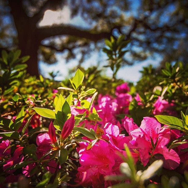 Beautiful spring day to stop and smell the azaleas in the lsu