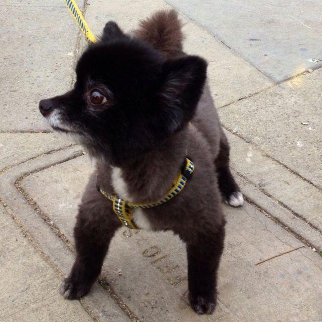 Black Pomeranian Haircuts