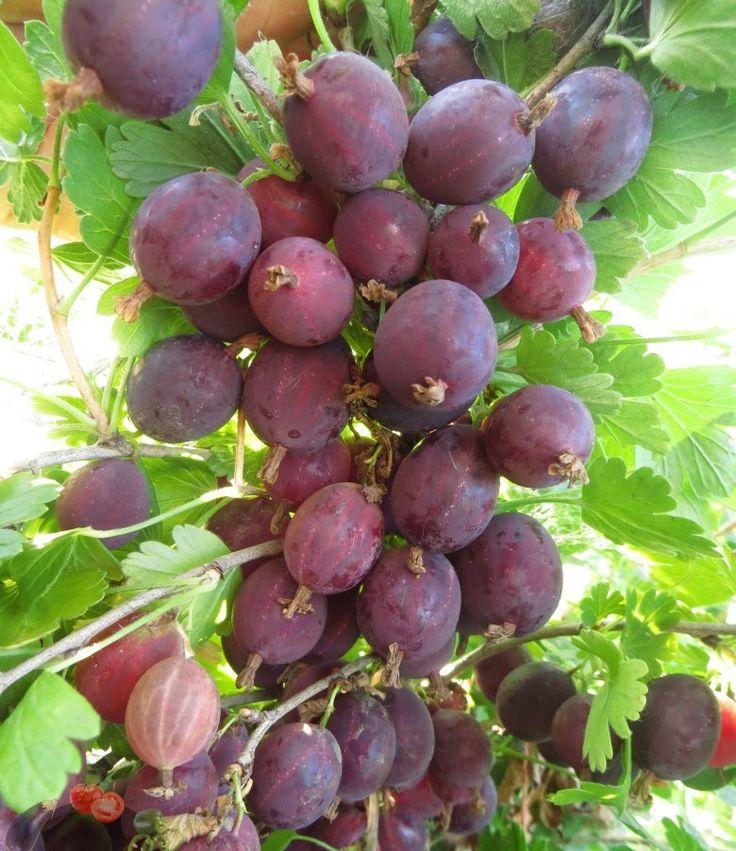 Каталог семян экзотических и коллекционных томатов