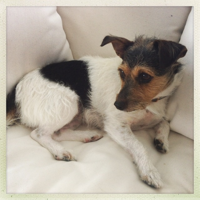 """Jack Russell terrier: """"Fiona"""""""