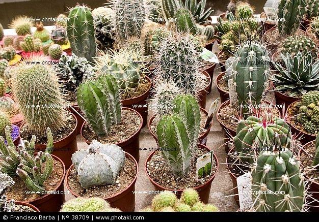 Varios tipos de cactus 38709 paisajismo y jardineria for Clases de cactus