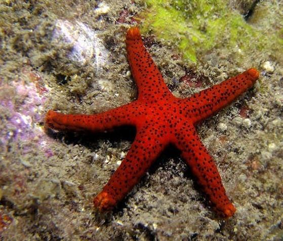 Red Sea Star (Fromia milleporella) Colour of Life Pinterest