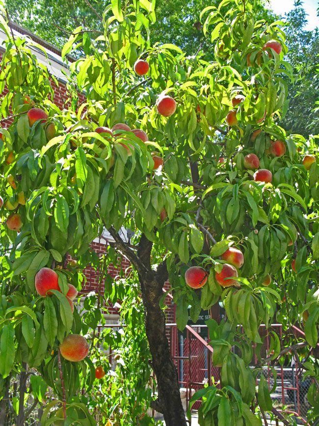 Peach tree vbs pinterest for The peach tree