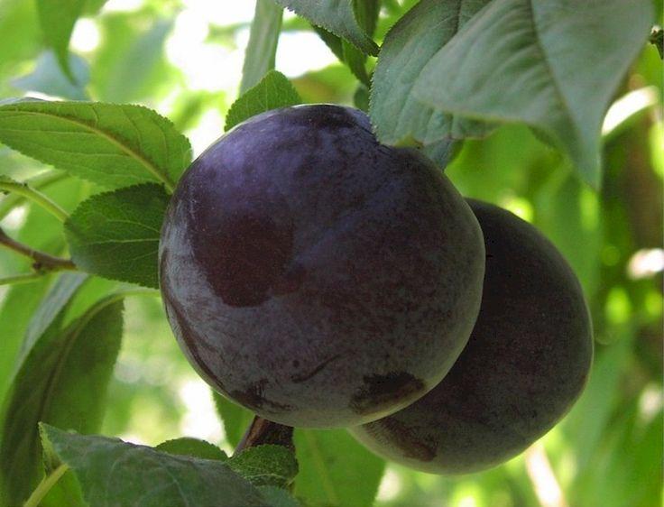 plum recipe plum amp walnut crisp with ginger ice cream