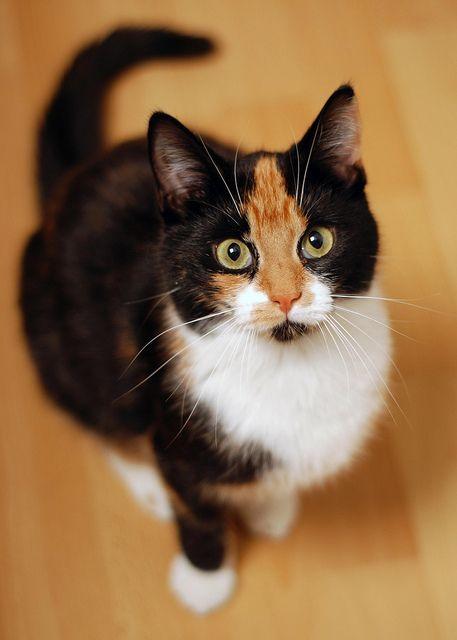 Black Calico Cat Calico Cat.