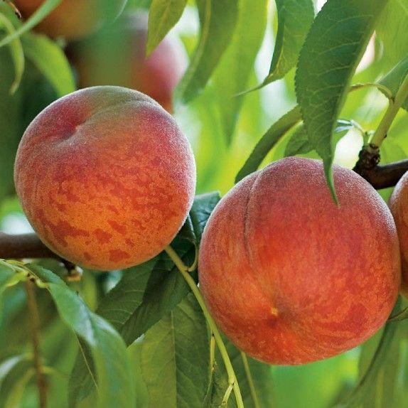 Peach tree contender peach trees ect pinterest for The peach tree