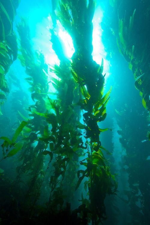 kelp bed nature pinterest