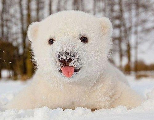 baby polar bear | Bears | Pinterest