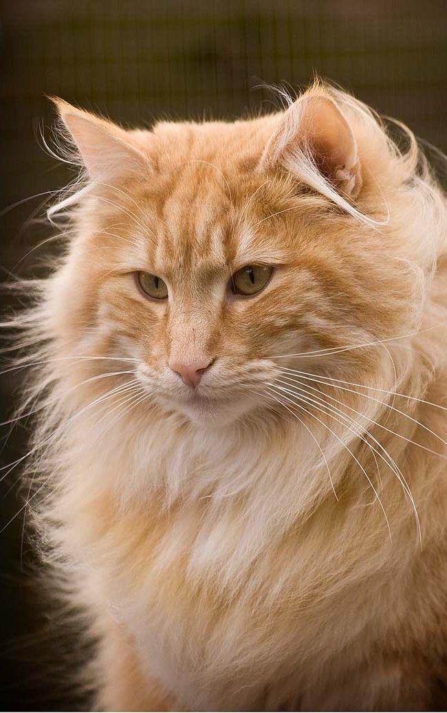 Norwegian Forest Cat Here Kitty Kitty Pinterest