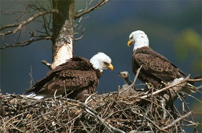 American bald eagles 39 habitat american bald eagles - Bold habitat ...