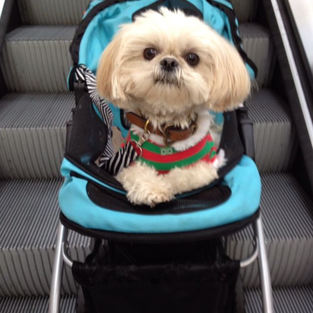 Shih Tzu ... at the mall in a pet stroller