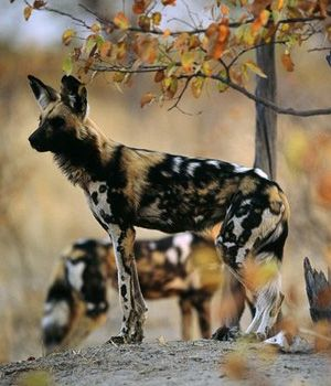 14 best images about wild dogs on pinterest | wolves, a