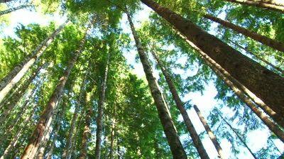 pacific northwest forest desktop  evergreens pacific northwest -