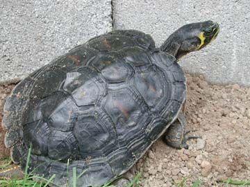 backyard turtle pond turtles pinterest