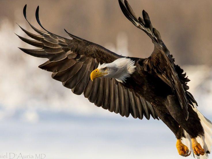 Eurasian eagleowl  Wikipedia