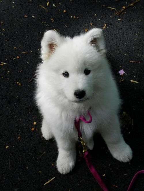Misty photo gallery white magic samoyeds in brookfield ct need it
