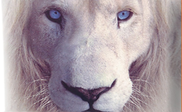 white lion with blue eyes �� all creatures great and