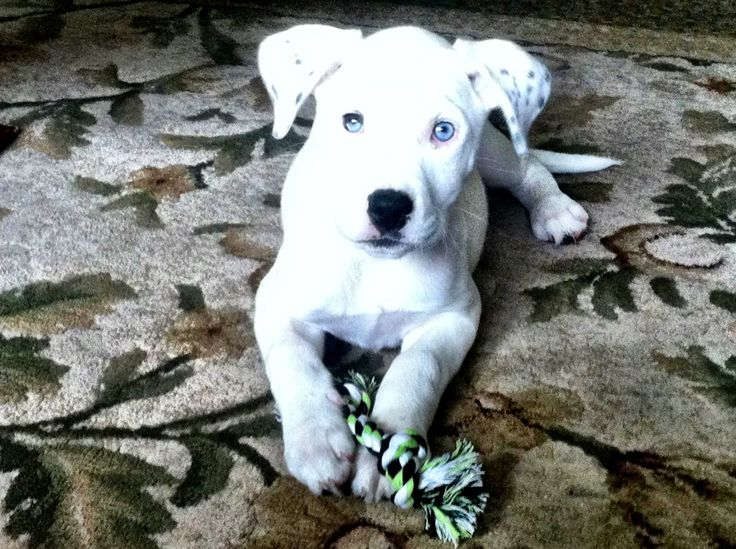 Pitbull/ Great Dane Mix puppy | iwant | Pinterest