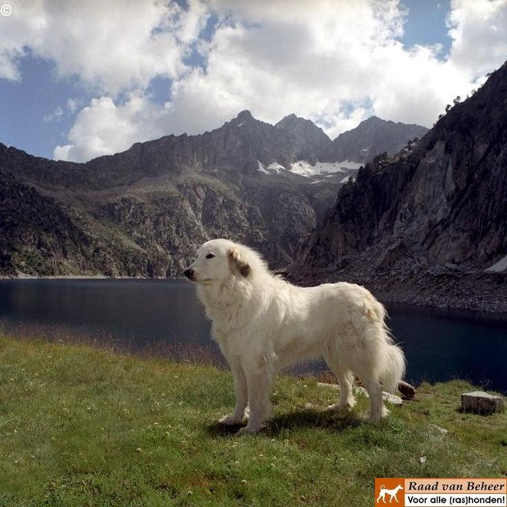 Pyrenean Mountain Dog, Great Pyrenees | Pyrenean Mountain ...