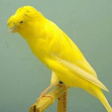 Royal Yellow Canary