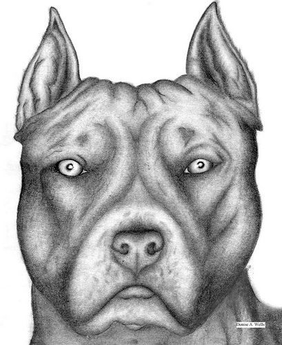Pit Bull Drawing By Denise A Wells Pencil Drawings
