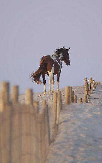wild pony on the sand dunes of assateague island