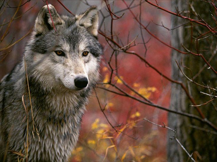 Fiery eyed wolf! =)