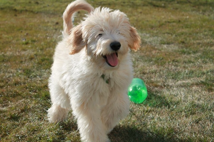 Mini/medium Goldendoodle -Winston | for Eloise | Pinterest