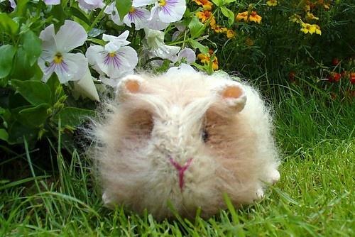 Gerty Guinea Pig Knitting Pattern breien Pinterest