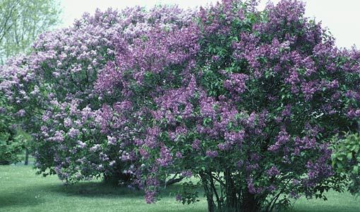 Landscape Bushes With Odor : Old fashioned lilac bushes they smell so wonderful