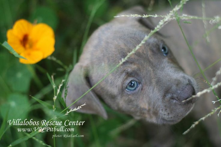 Snookie Villalobos Rescue Center - Pit Bulls & Parolees