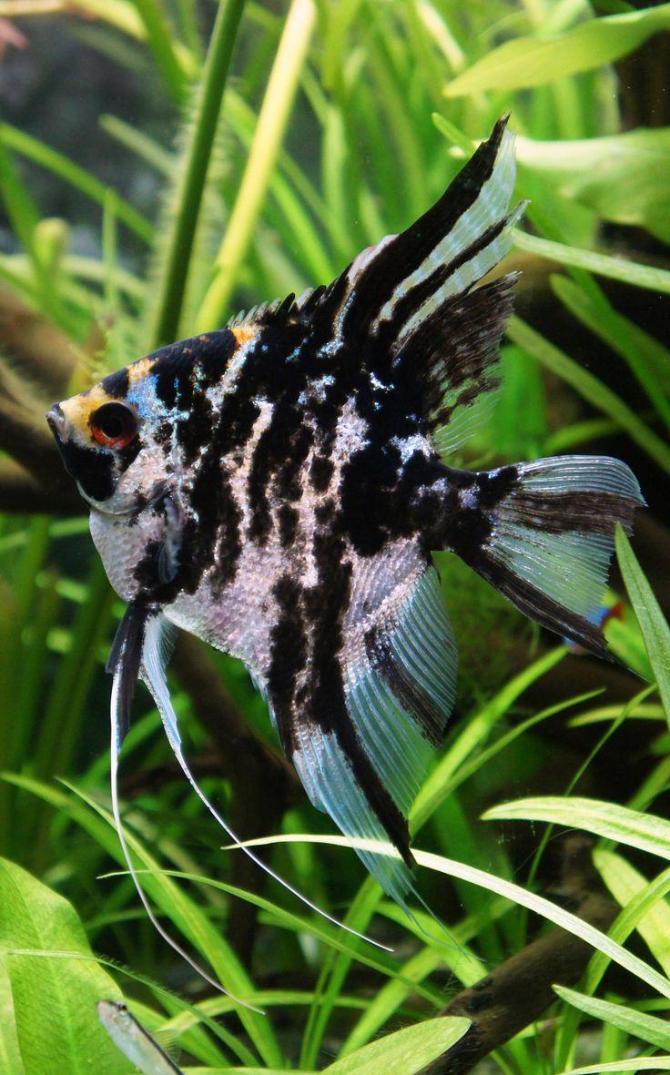 Marble Scalare (angelfish) | Acuarios | Pinterest