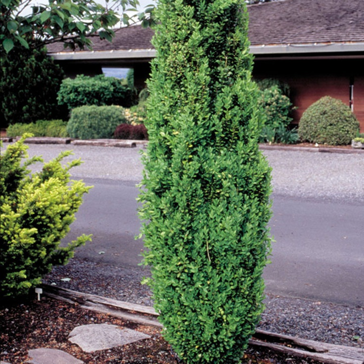Pin by jen tiana on plants pinterest for Easy maintenance shrubs