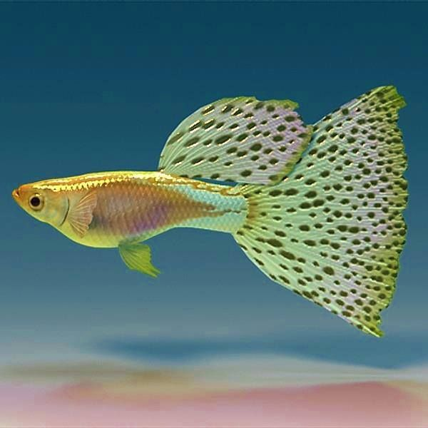 By indian fancy guppies pavillion tropical aquarium fish for Fancy guppy fish