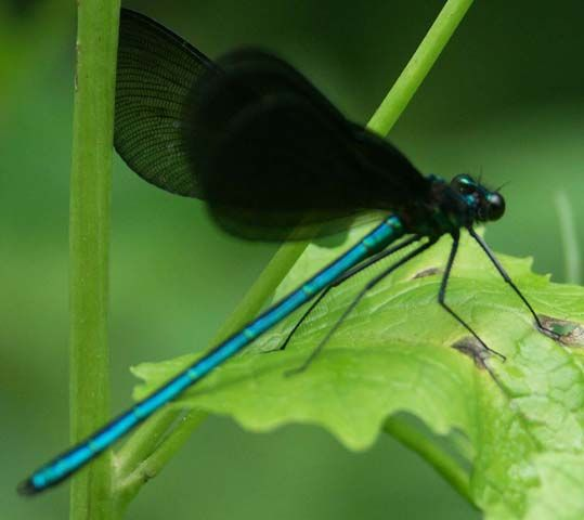 Black winged dragonfly - photo#2