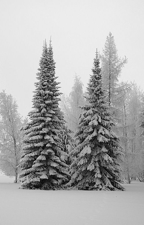 snow covered majestic pines