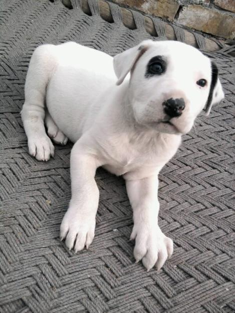 and-half-month-old-pure-white-bully-kutta-for-sale-Animals.jpg