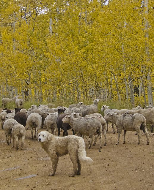 Akbash Dog From Turkey Guarding The Sheep Canis Familiaris II