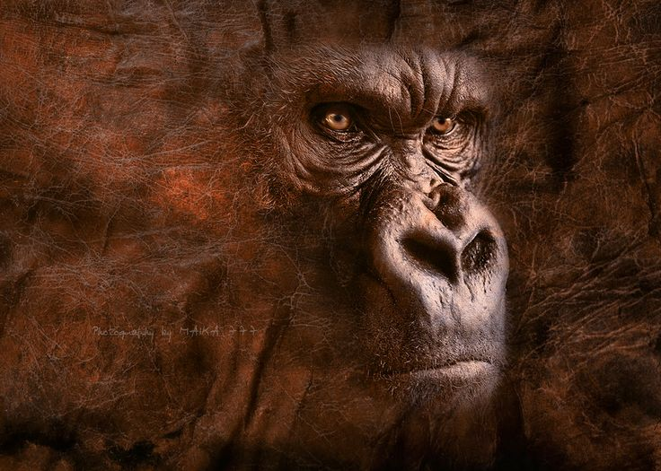 Gorilla fighting wallpaper