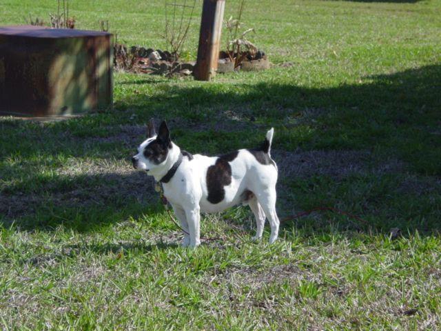 in his prime Kaiser Boston Terrier/French Bulldog mix RIP
