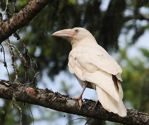 Albino crow - photo#16
