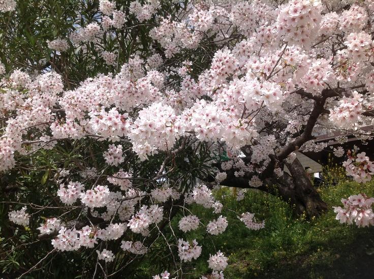 Cherry 7 | Spring | Pinterest